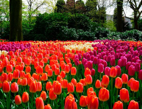 tulipanes en holanda Keukenhof