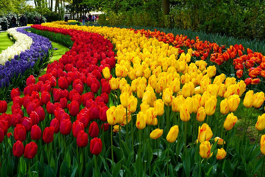 Keukenhof holanda tulipanes
