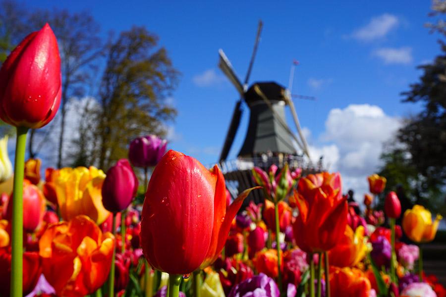 tulipanes y molino Keukenhof