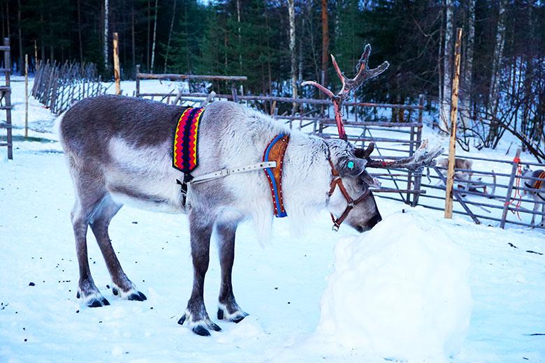 renos en Finlandia