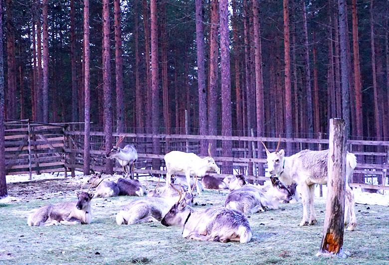 visitar granja de renos en Rovaniemi
